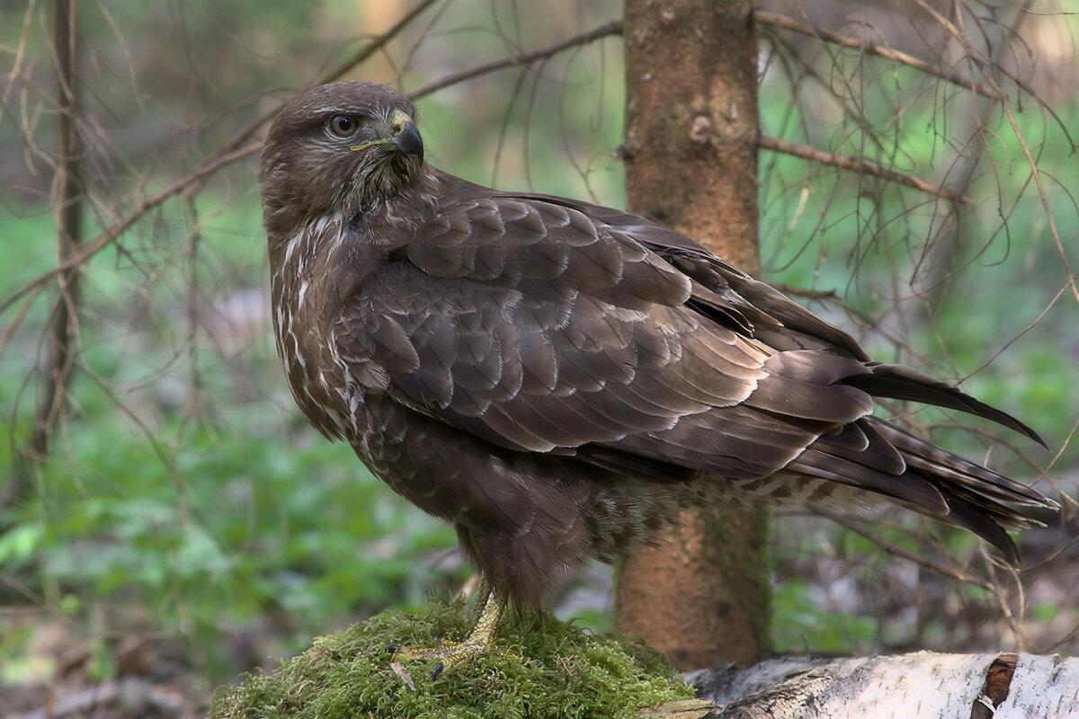 многих хищные птицы воронежской области фото с названиями верности тебя ещё