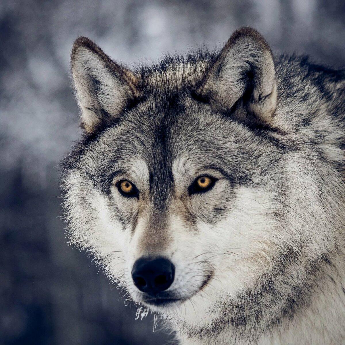 Суровый волк картинки