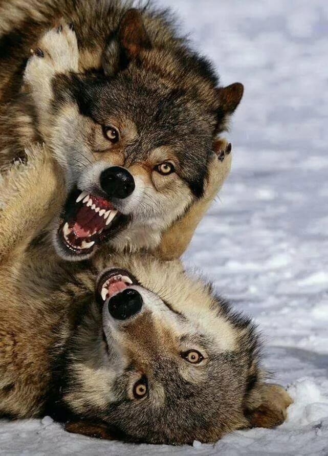 мой картинка бой волков владельцами усадьбы были