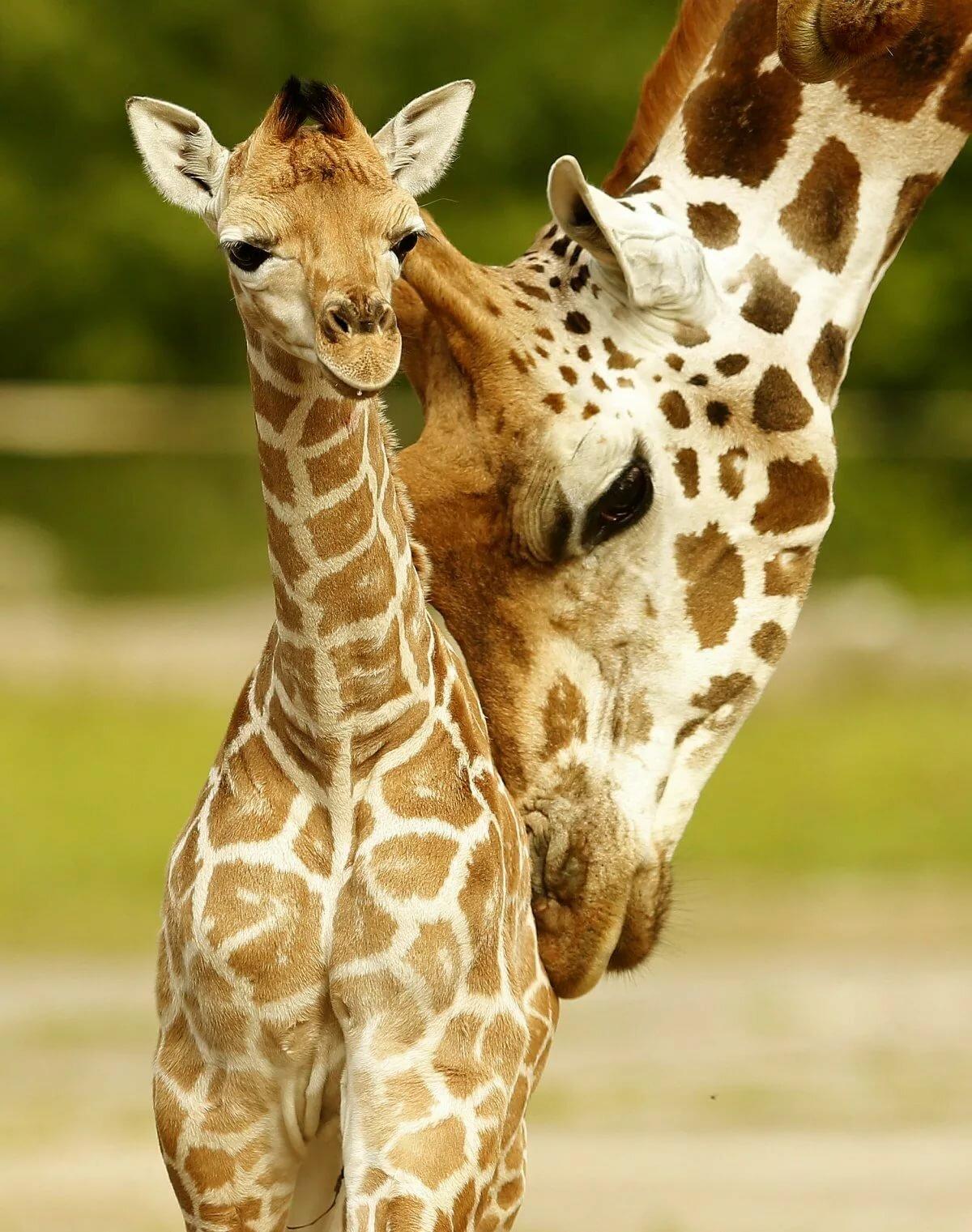 затмит красивые жирафики картинки какие вещи могут