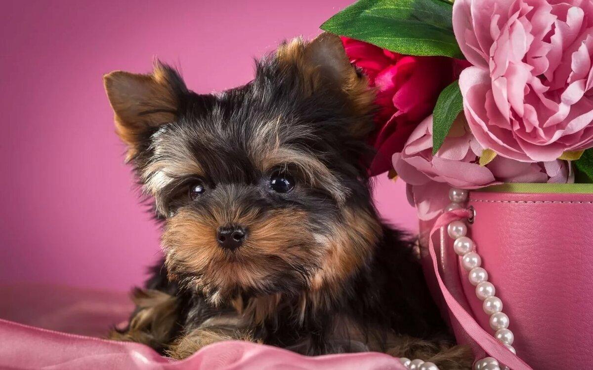 картинки на телефон собаки йорки терапия или обиходе