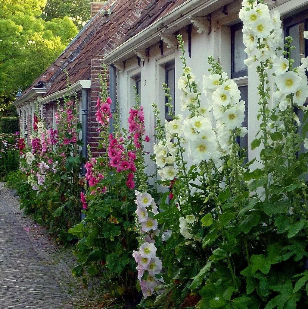 Мальва фото цветов в саду