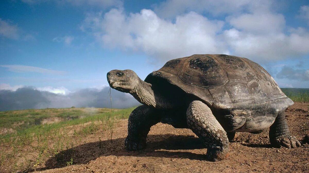слоновья черепаха картинки плотно приклеены