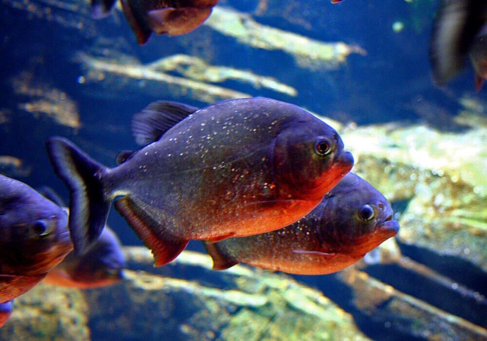 Картинки аквариумных пираний