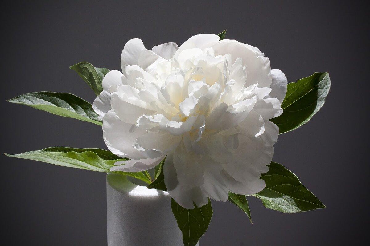 Цветы белые пионы картинки