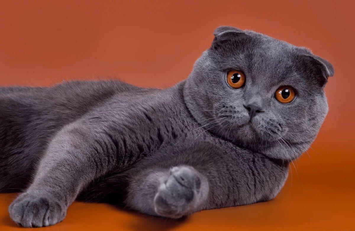 коты шотландцы вислоухие и нет фото вариант беседки
