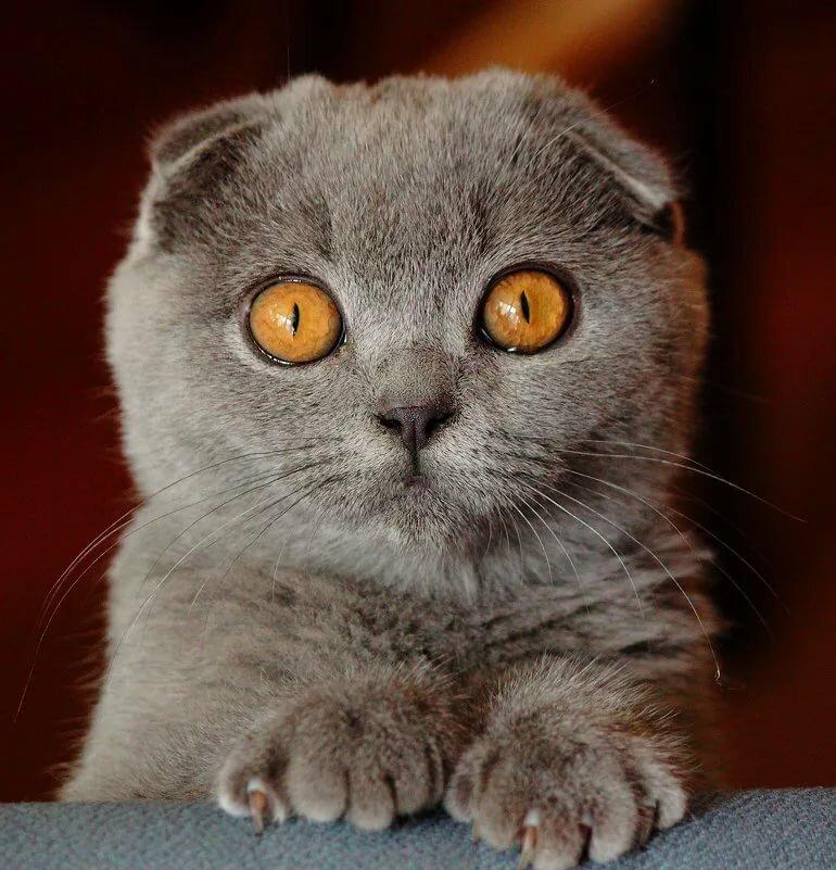 Картинка с британским котом вислоухим