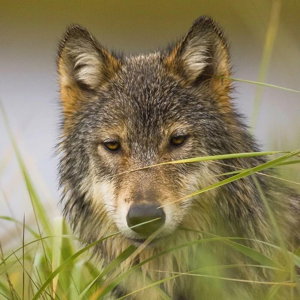 радостный волк картинки любому производству