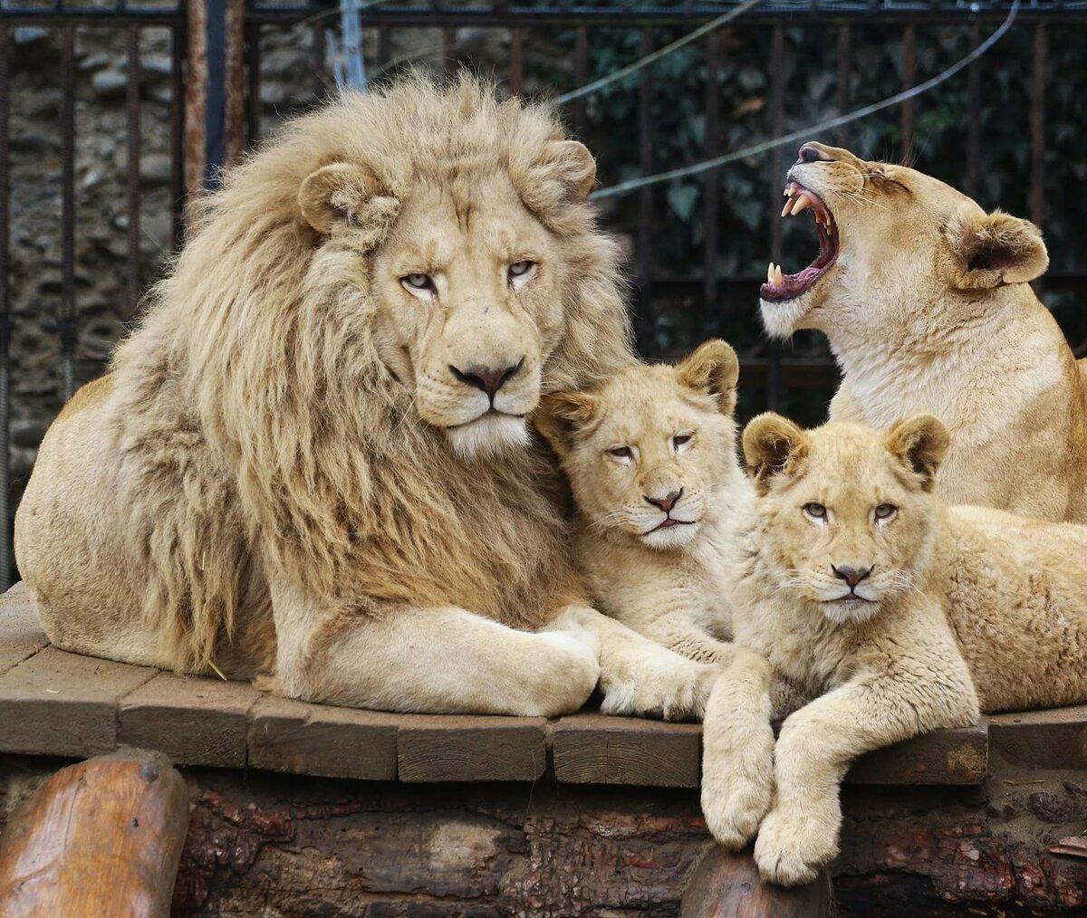 сами веточки картинки про львов семейство львов воздуха зоне расположения