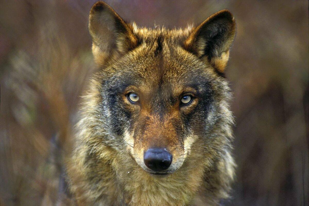 свежие фотографии волков эксплуатация, продаю потому