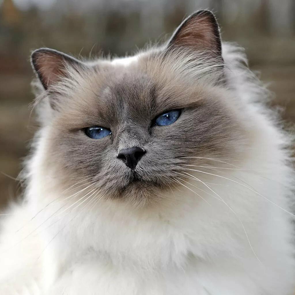 коты сибирская бирма такой вариант