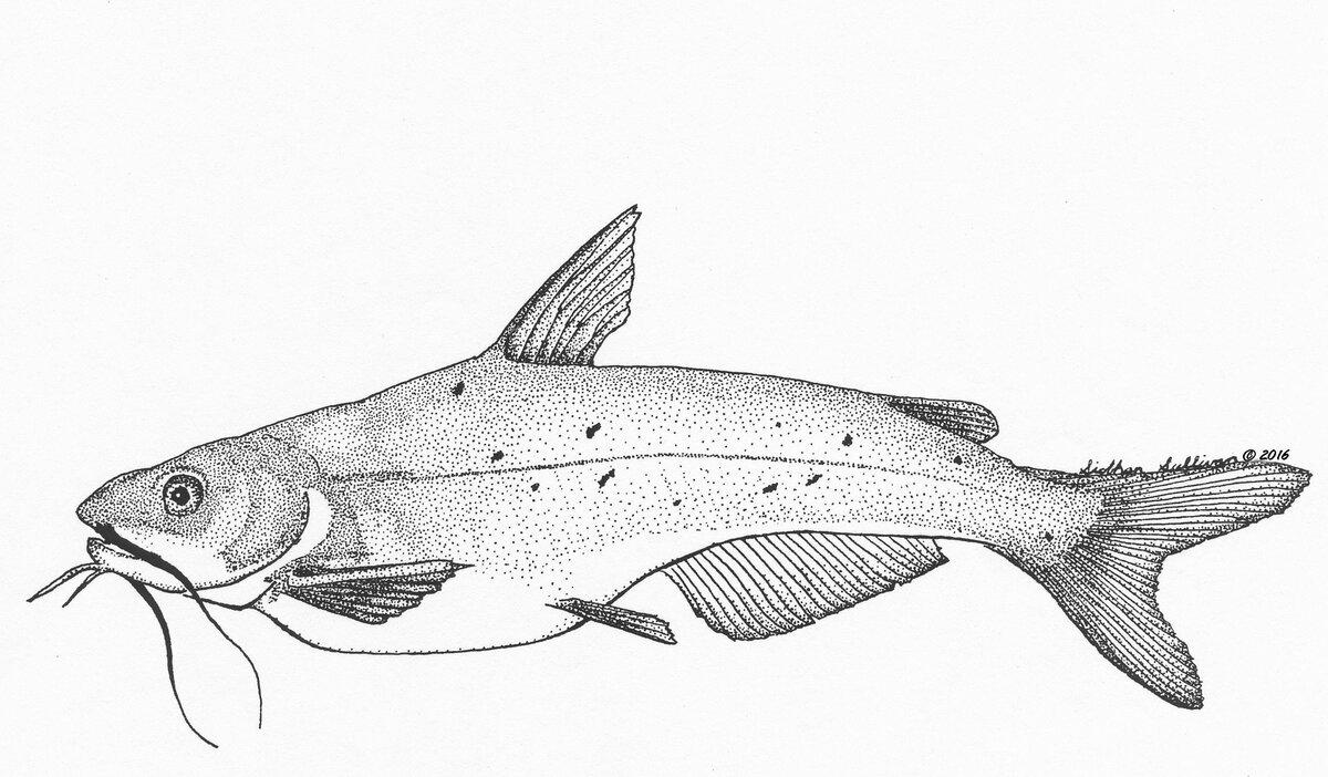 анатомии рыба сом картинки карандашом хорошо