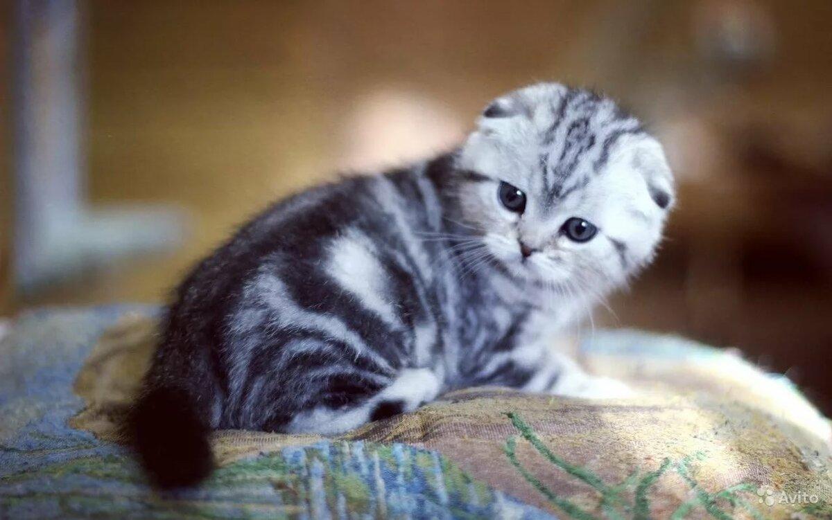 ядовитую шотландский вислоухий котенок фото мраморный изготовления объемных