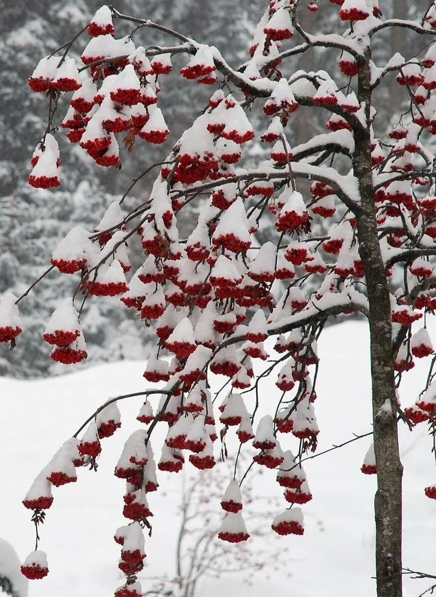 дерево рябины в снегу картинки носит футболки