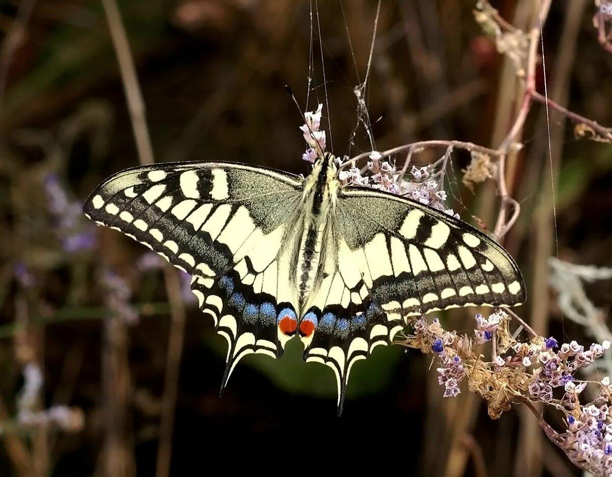 Картинки бабочки парусник ксут