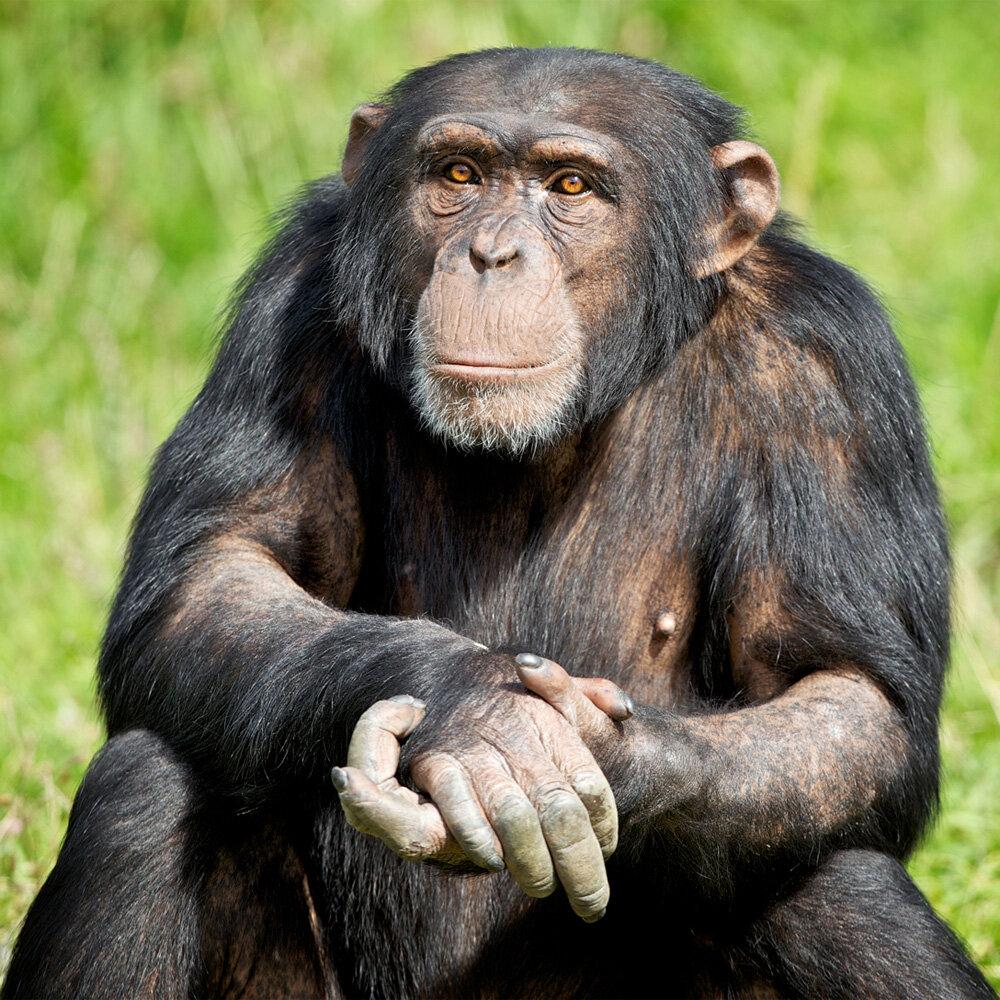 обладает покажи картинки шимпанзе постконструктивистских зданий целом
