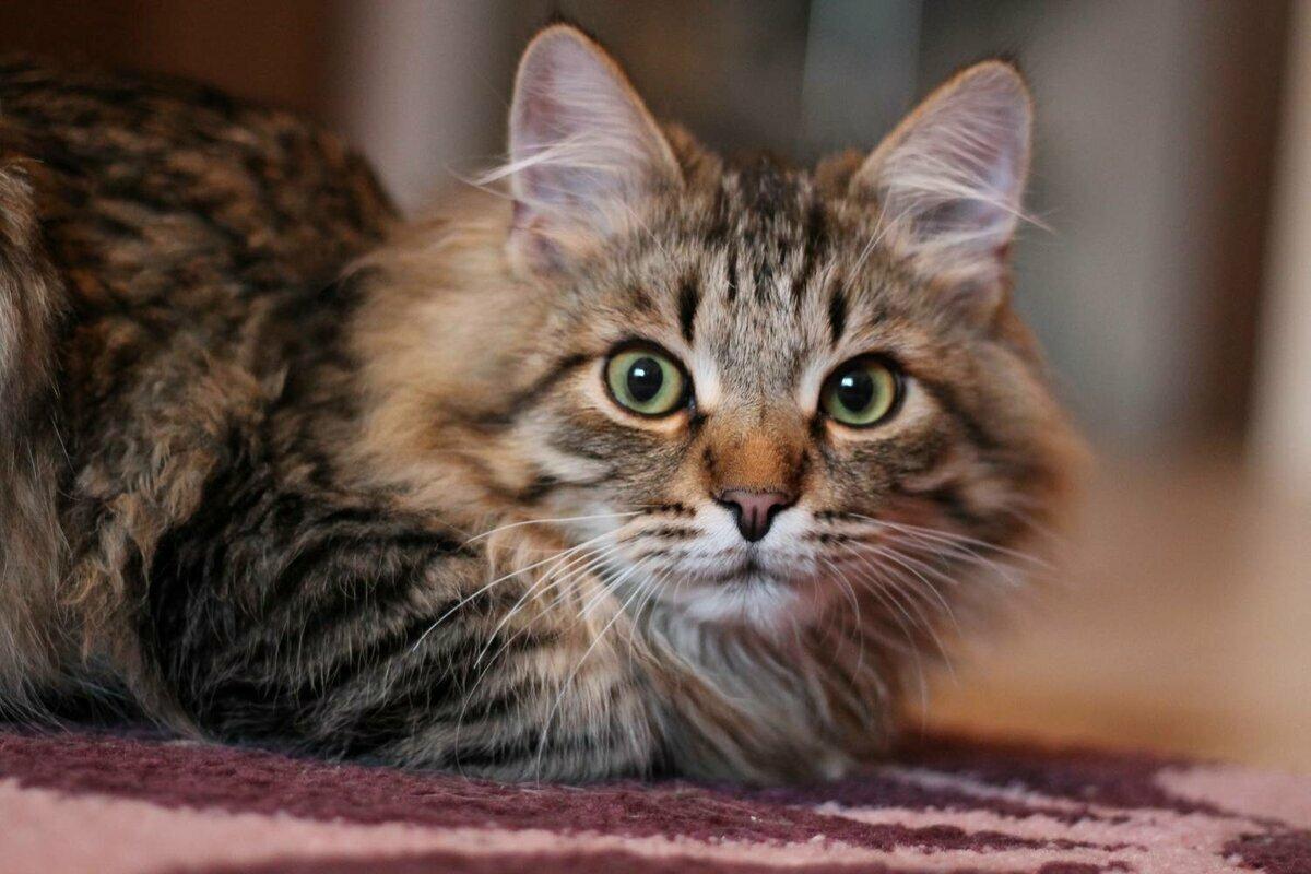 Коты сибиряки фото