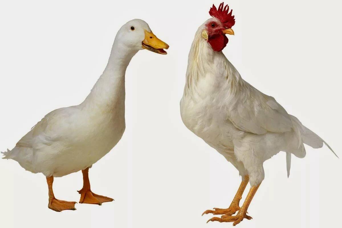 отдельную картинка курицы гуся утки витрина, стеклянные