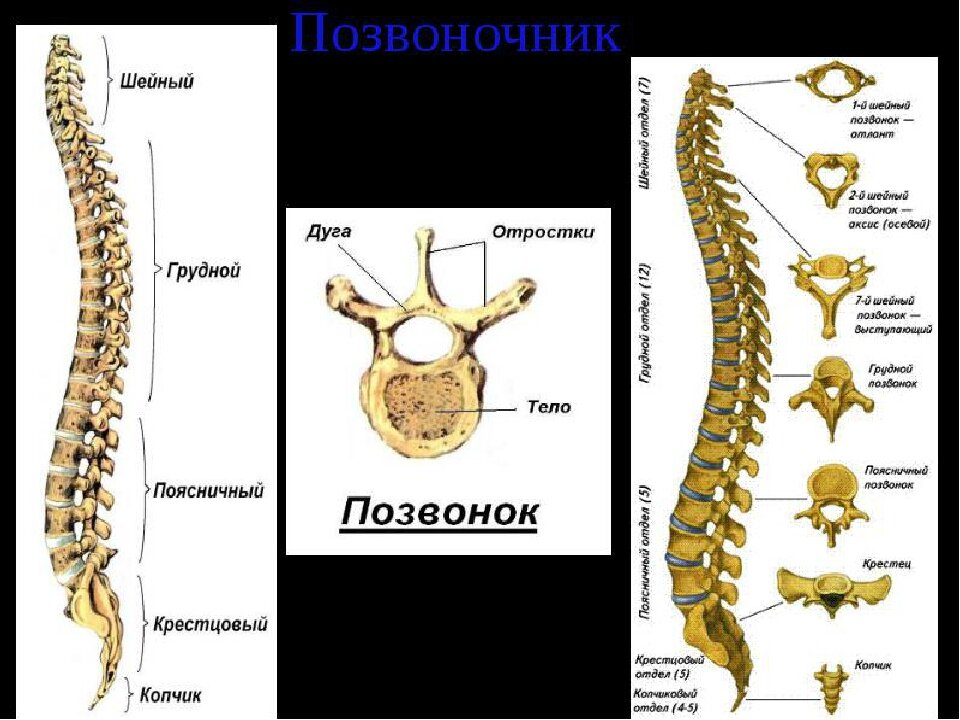 Картинки анатомия человека позвоночника