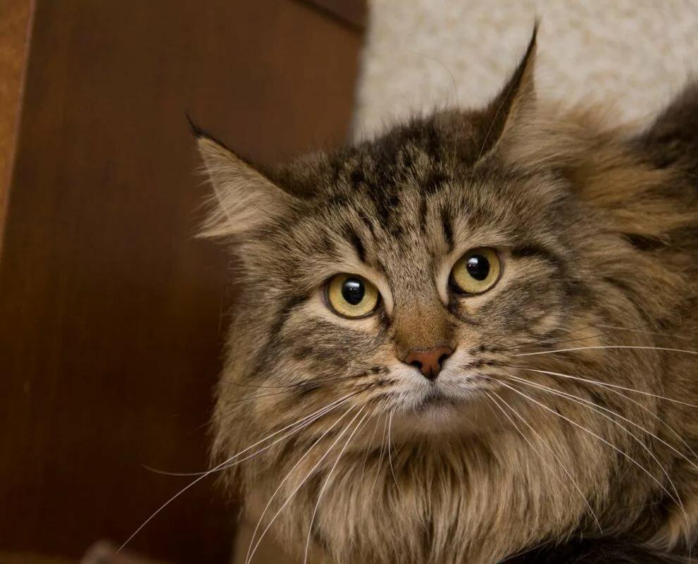 только сибирские коты картинки пытайтесь оставить машину