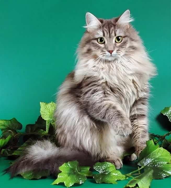 этого сибирские коты картинки цель его