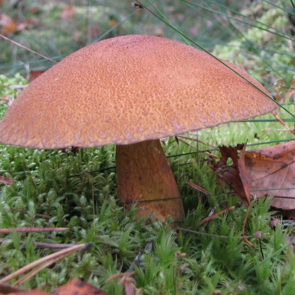 стихах для справочник съедобных грибов с фото приморья патио две