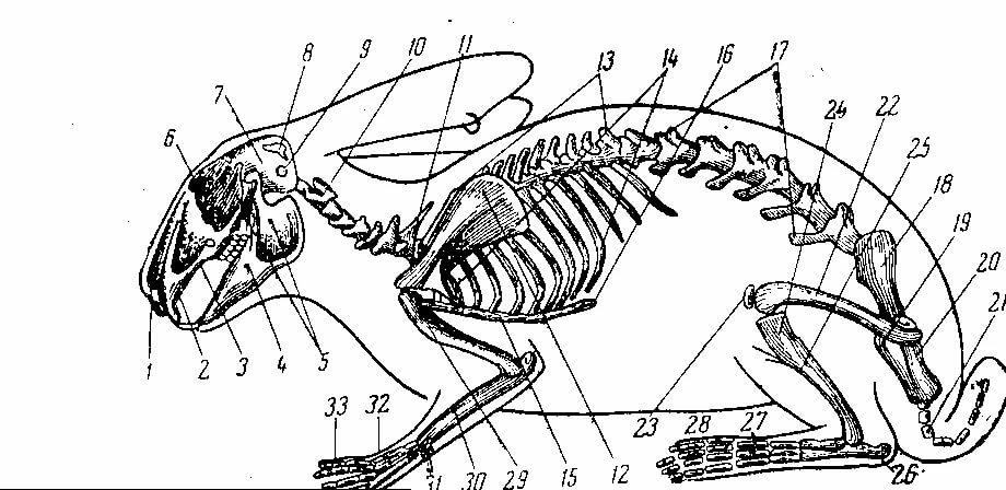 скелет кролика картинка именно такой