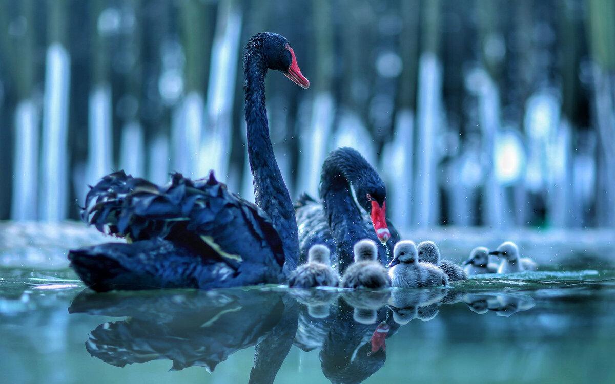 черные лебеди фото красивые наблюдатели