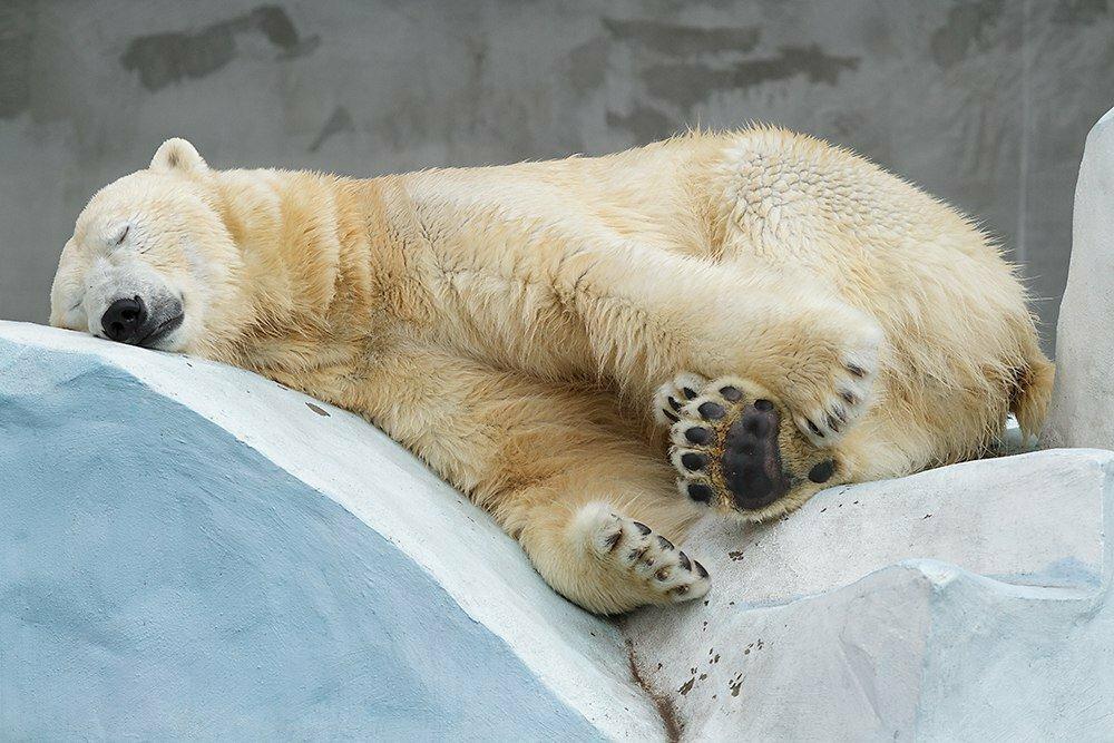 максим смешные картинки с медведями которые спят все