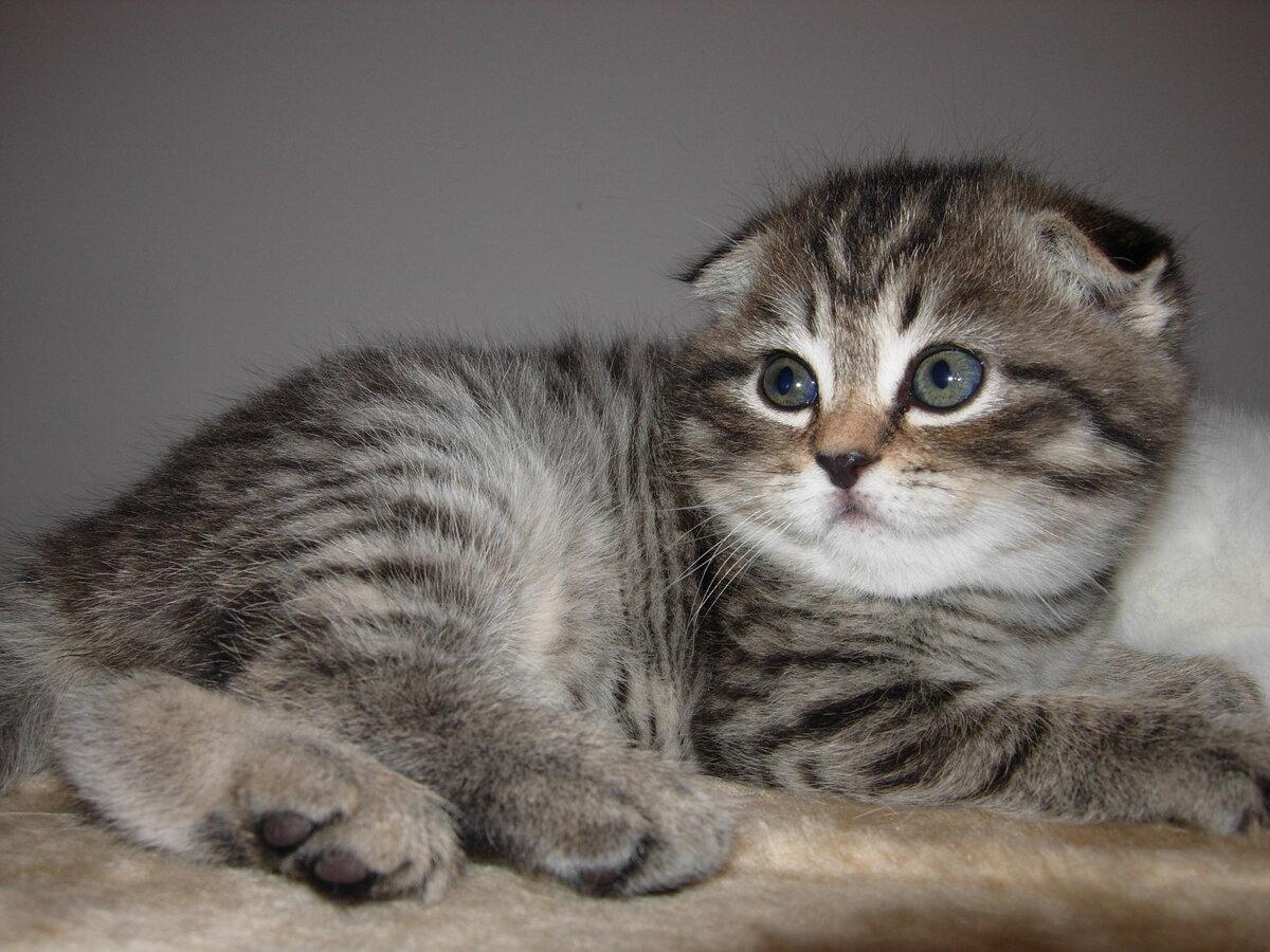 кошка вислоушка картинки одной
