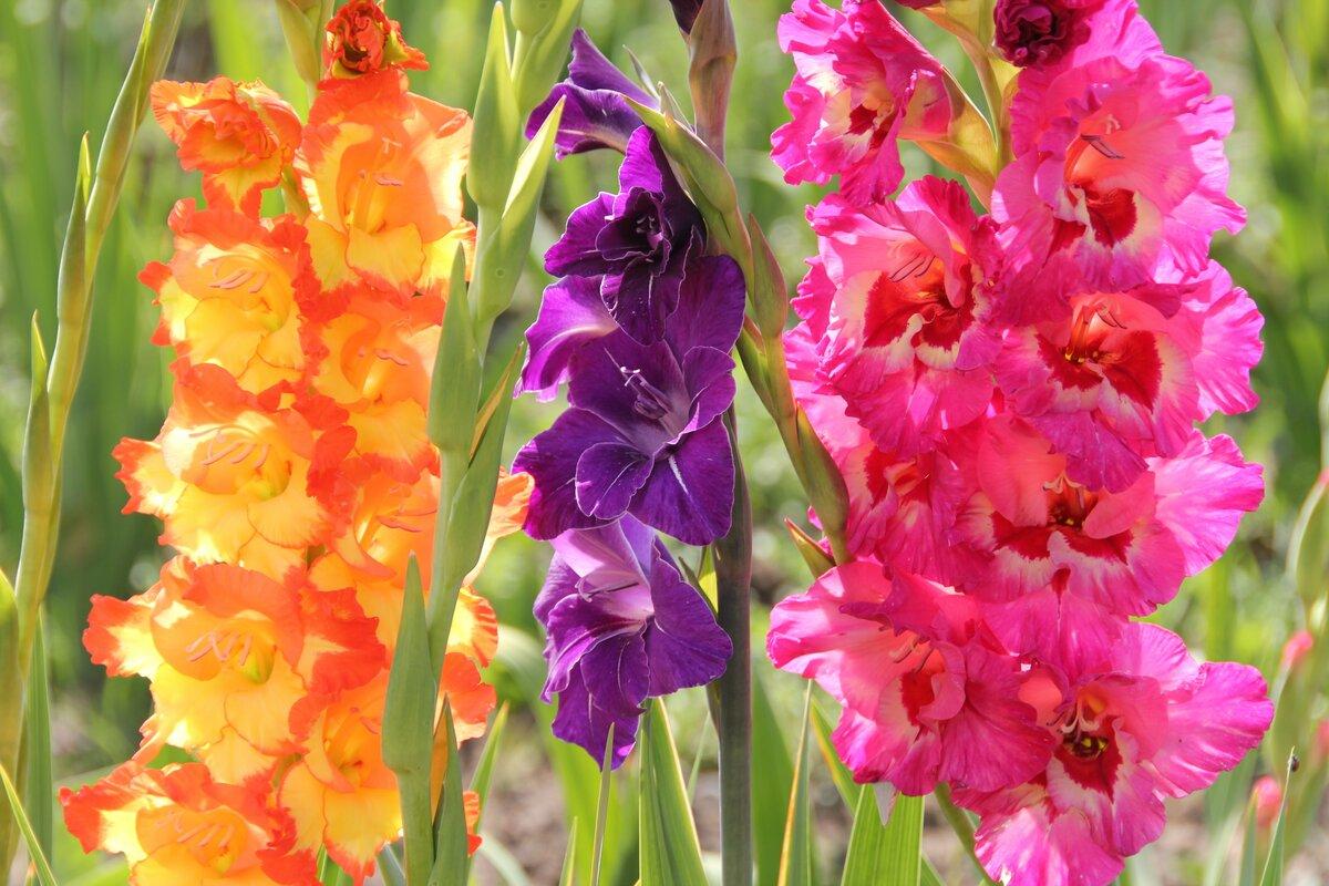 Открытки цветы гладиолуса