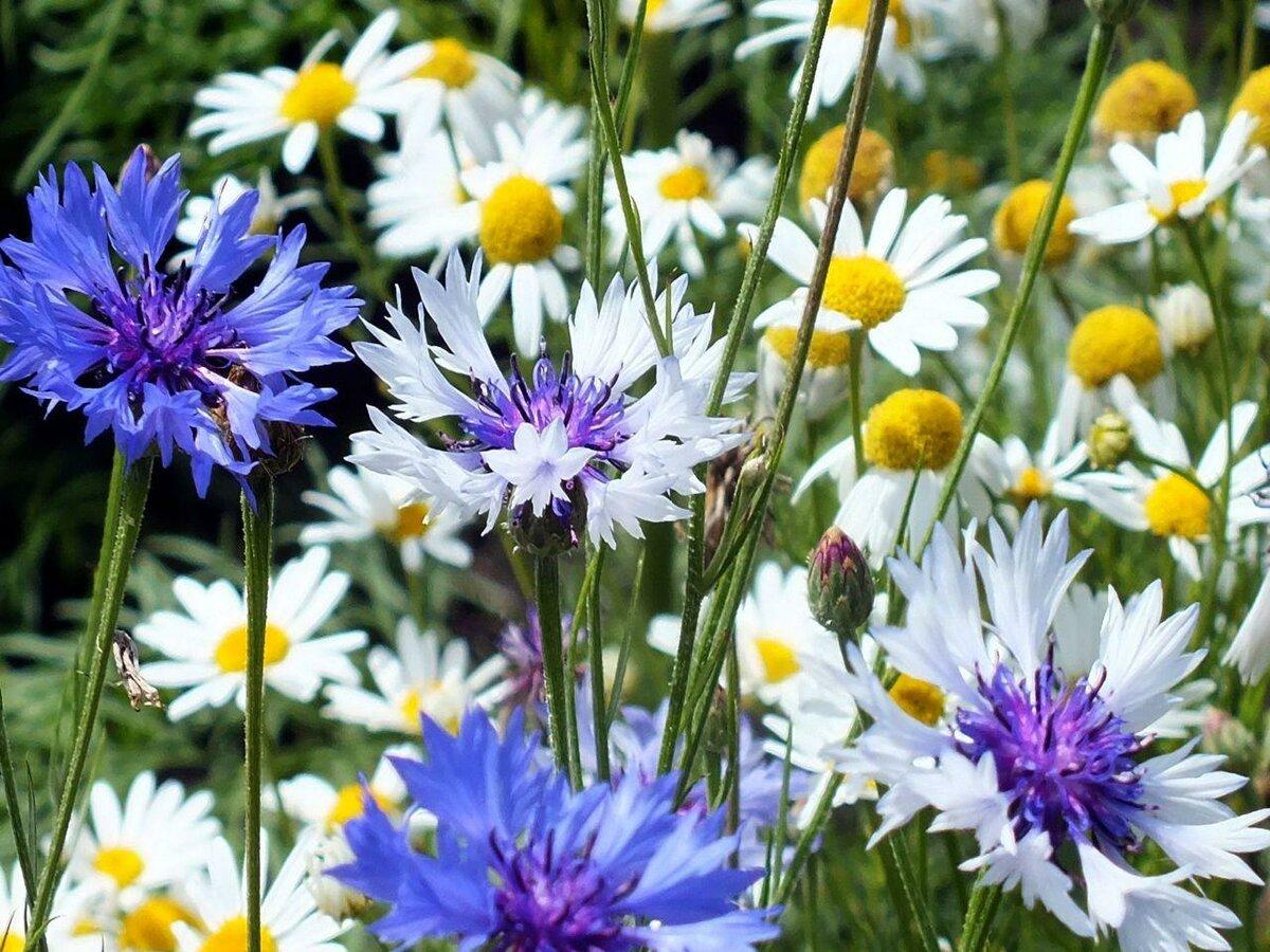 Картинки для аватарки полевые цветы