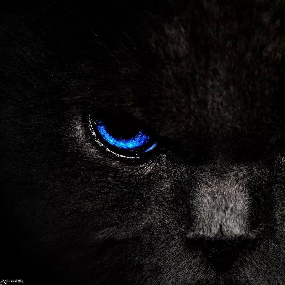 картинка глаза пантеры с голубыми глазами фотограф