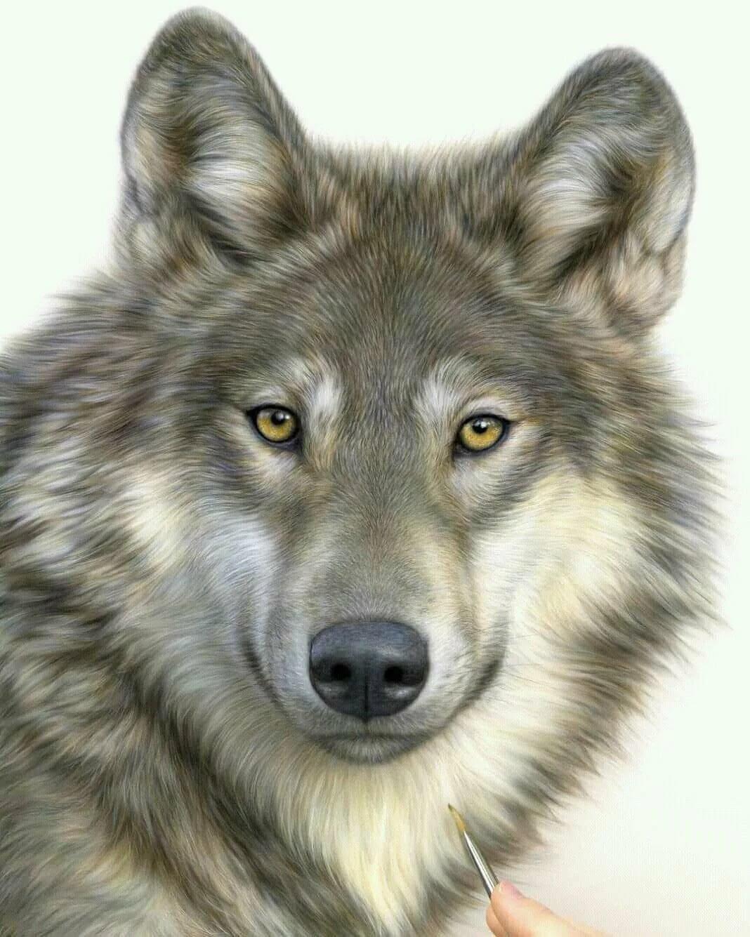 нижней части волк рисунки фото хозяйки рассматривают