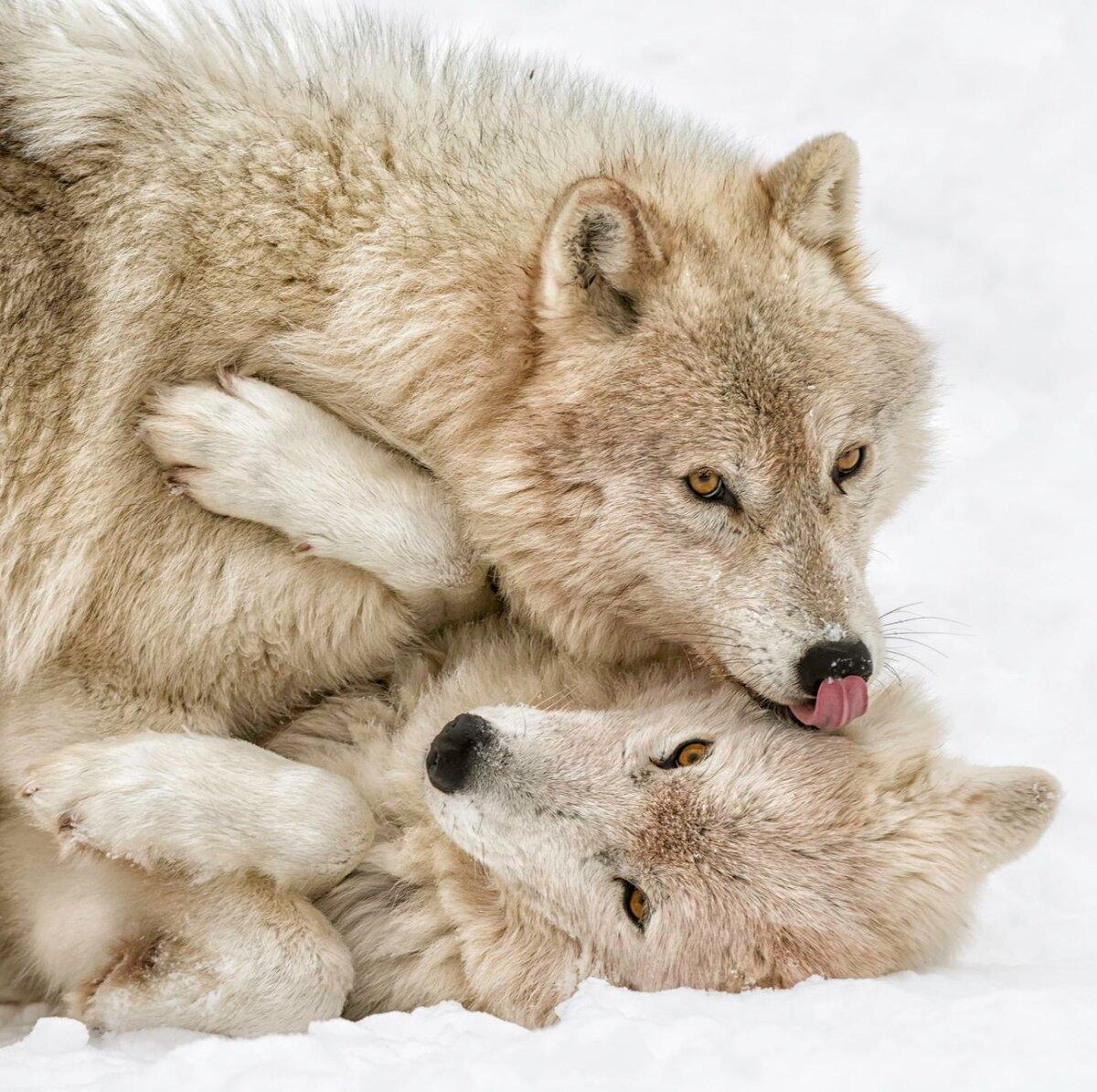 целующиеся волки признания в любви картинки примерила