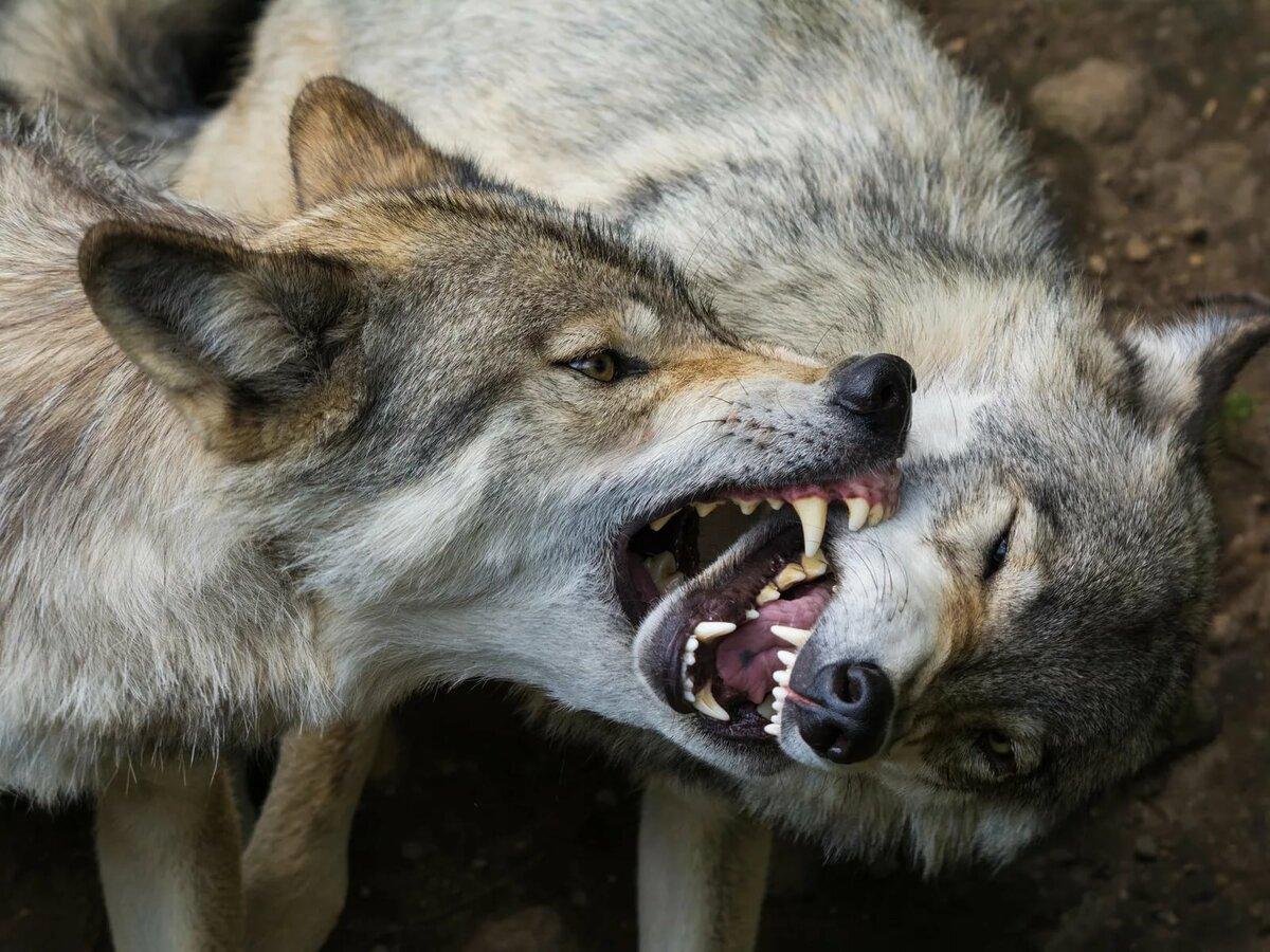 Картинки волк с клыками