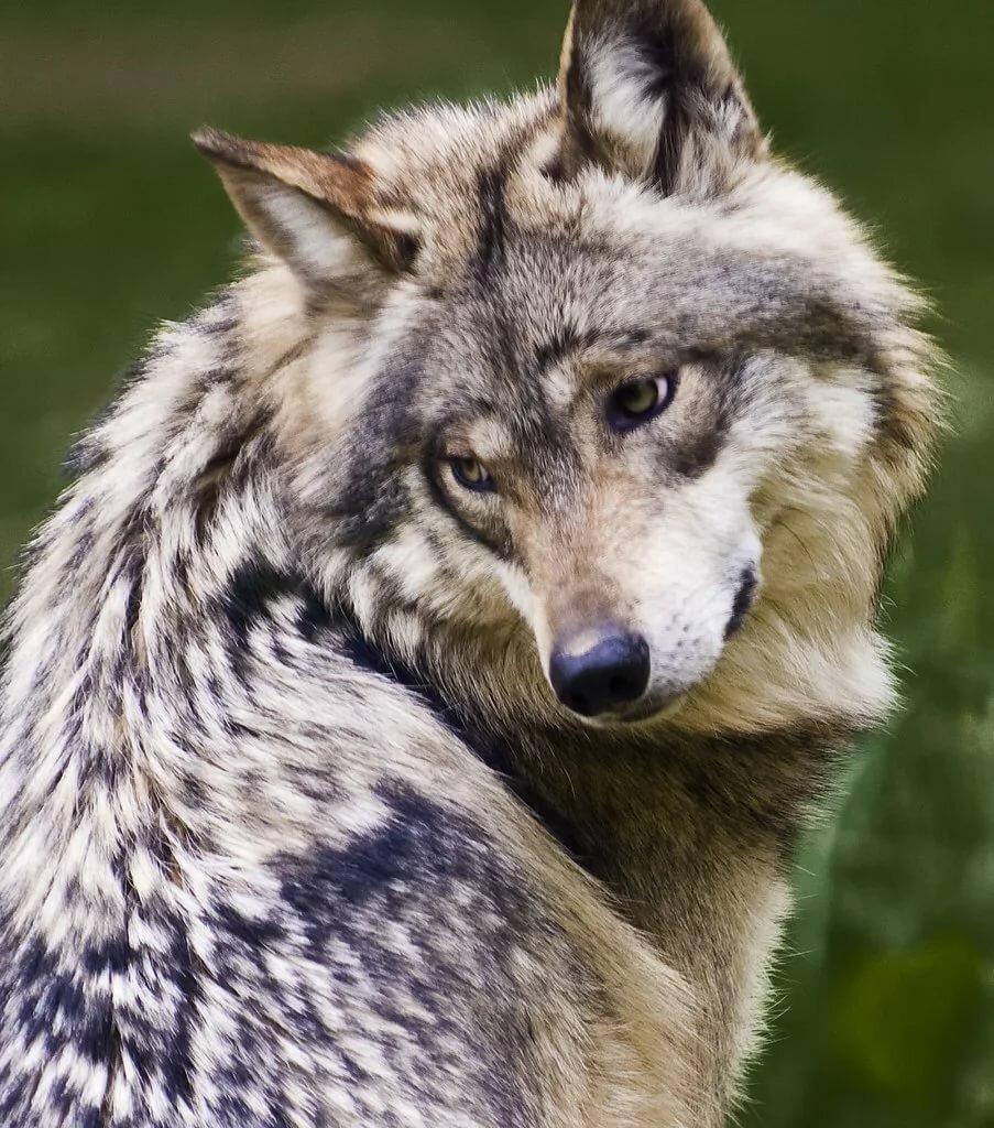 видео милые картинки с волками тел