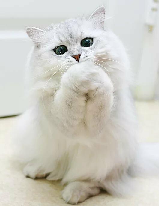 Картинки кошки прости меня