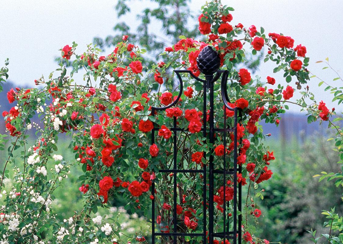 шпалерные розы фото