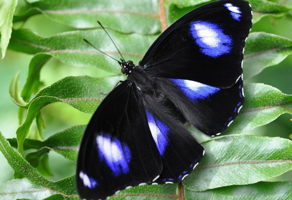 Картинки самых редких бабочек в мире