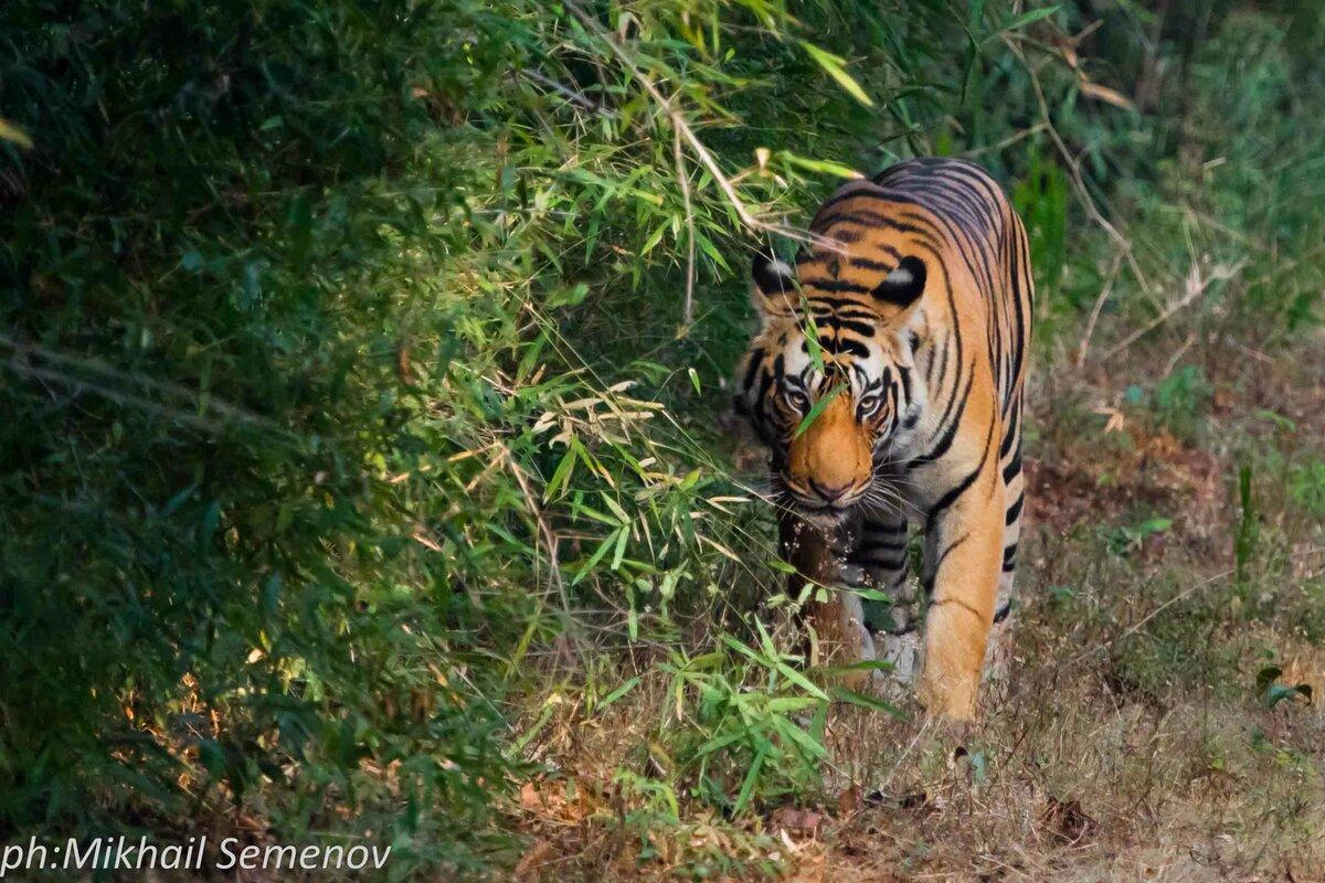 За тиграми в Кану и Бандавагар