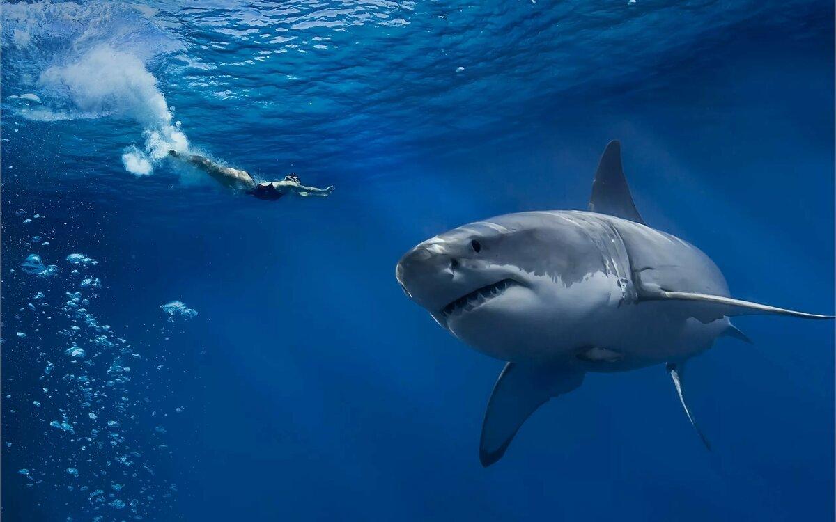 картинки красивых белых акул получила название такаясу