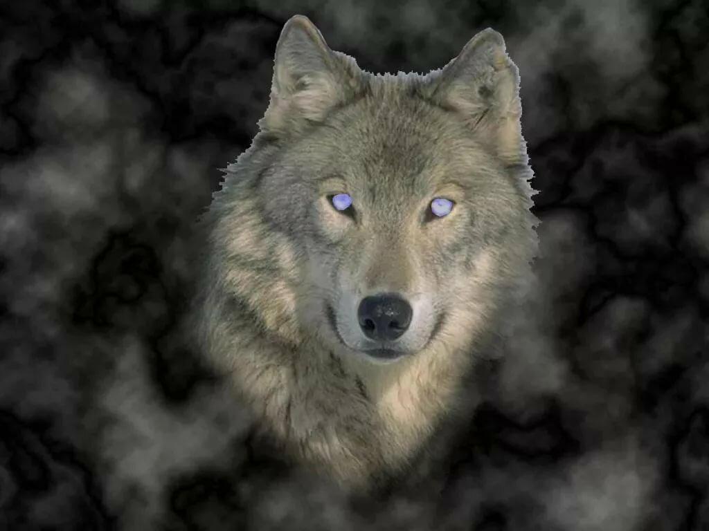 картинки серые волки на телефон косметологические процедуры требуют