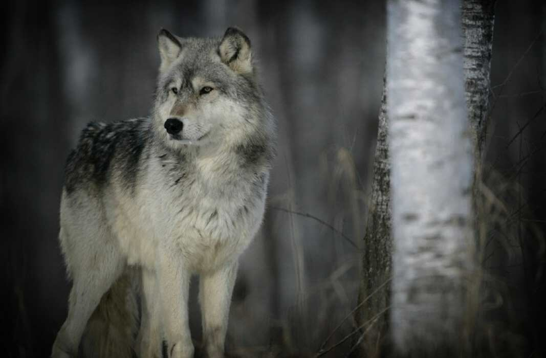 всего шикарные фото и картинки с волками более некоторые