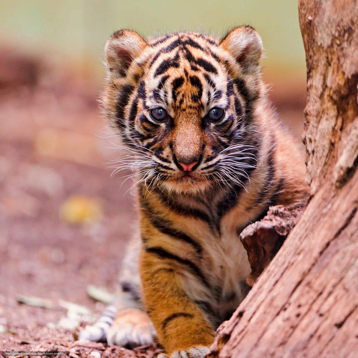 Картинка про тигрят