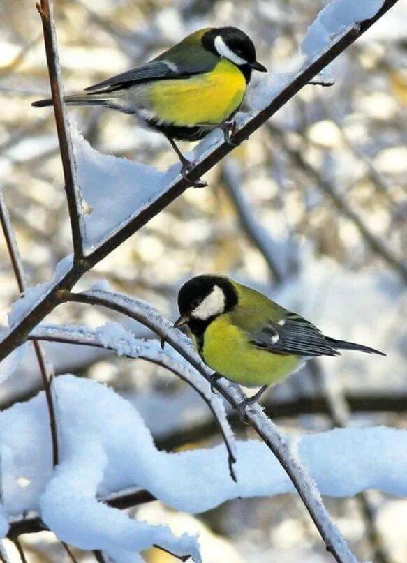 Птицы зимой картинка для детей