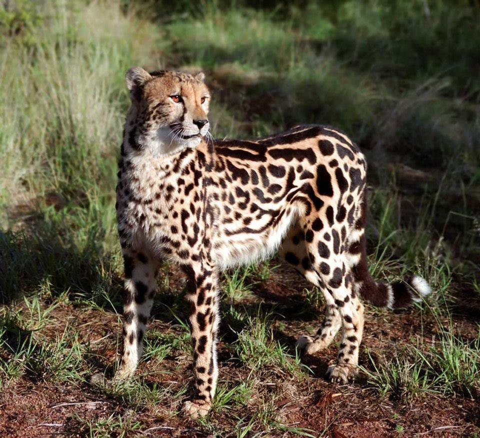 то, картинки королевские гепарды тех