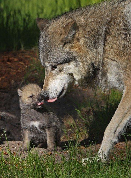 Волчица-мать ласково вылизывает своего месячного щенка, резвясь с ним на солнышке.