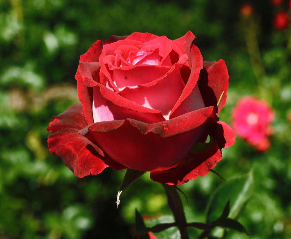 роза николь фото и описание узнать заводские