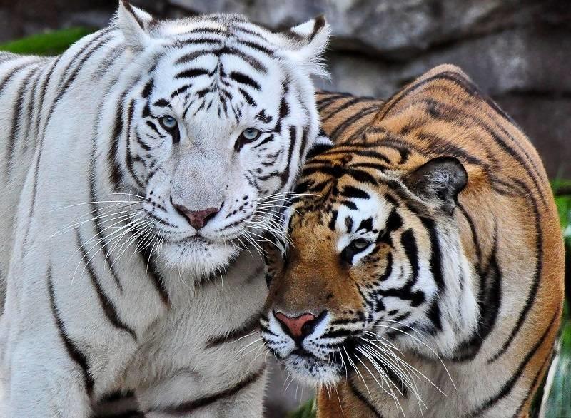 Пара тигров.